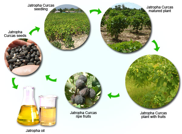 jatropha energy crop circuit