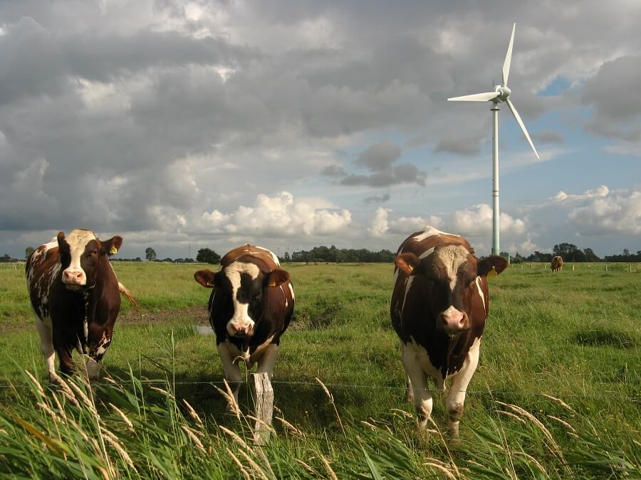 three cows on a grazing pasture with a wind turbine in the background