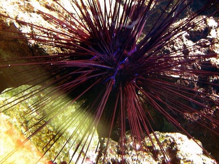 Diadema Antillarum, or black sea urchin