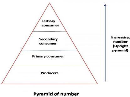 a biomass pyramid