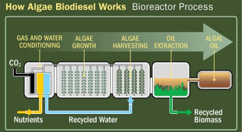 how algae biodiesel works