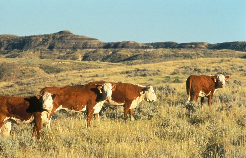 Hereford cattle on a range, one of the best sustainable agriculture practices